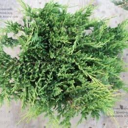 Можжевельник горизонтальный Принц Уэльский (Juniper horizontalis Prince of Wales) ФОТО Питомник растений Природа (2)