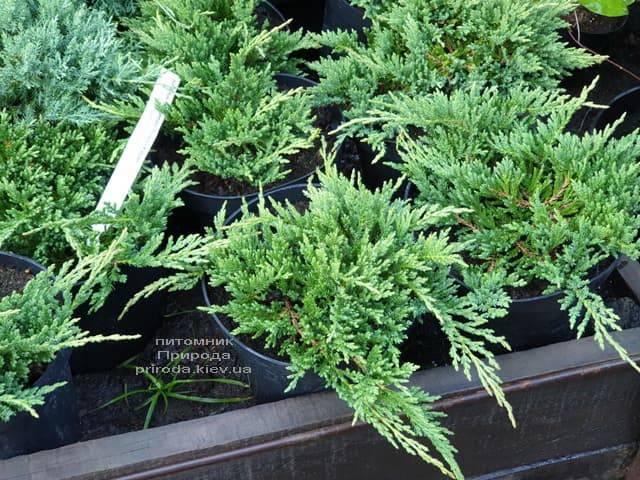 Ялівець горизонтальний Принц Уельський (Juniper horizontalis Prince of Wales) ФОТО Розплідник рослин Природа (5)