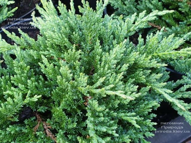 Ялівець горизонтальний Принц Уельський (Juniper horizontalis Prince of Wales) ФОТО Розплідник рослин Природа (6)