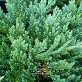 Можжевельник горизонтальный Принц Уэльский (Juniper horizontalis Prince of Wales) ФОТО Питомник растений Природа (7)