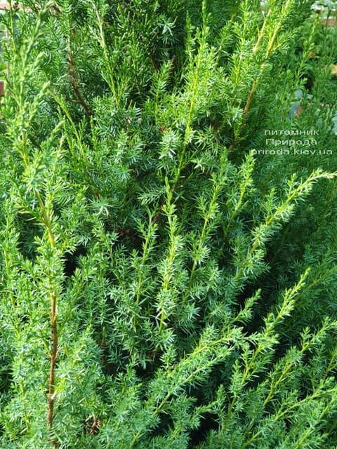 Можжевельник китайский Обелиск (Juniperus chinensis Obelisk) ФОТО Питомник растений Природа (1)
