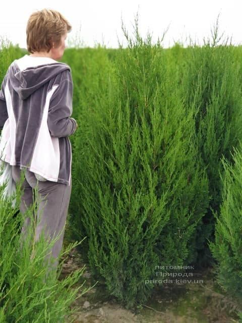 Можжевельник китайский Спартан (Juniperus chinensis Spartan) ФОТО Питомник растений Природа (8)