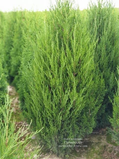 Можжевельник китайский Спартан (Juniperus chinensis Spartan) ФОТО Питомник растений Природа (9)