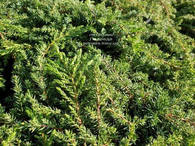 Можжевельник обыкновенный Грин Карпет (Juniperus communis Green Carpet) ФОТО Питомник растений Природа (1)