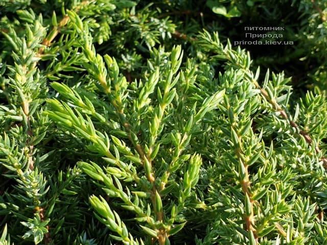 Можжевельник обыкновенный Грин Карпет (Juniperus communis Green Carpet) ФОТО Питомник растений Природа (2)