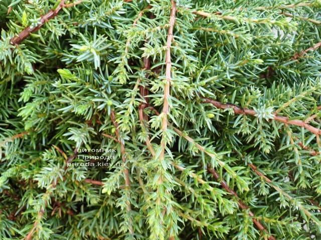 Можжевельник обыкновенный Грин Карпет (Juniperus communis Green Carpet) ФОТО Питомник растений Природа (4)