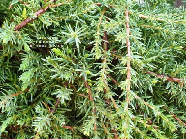 Можжевельник обыкновенный Грин Карпет (Juniperus communis Green Carpet) ФОТО Питомник растений Природа (5)