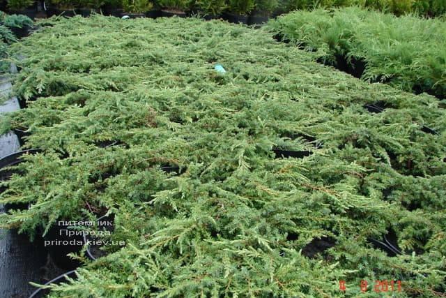 Можжевельник обыкновенный Грин Карпет (Juniperus communis Green Carpet) ФОТО Питомник растений Природа (6)