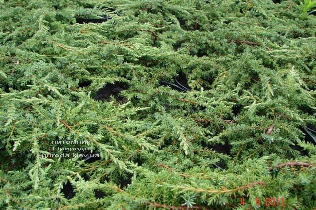 Можжевельник обыкновенный Грин Карпет (Juniperus communis Green Carpet) ФОТО Питомник растений Природа (7)