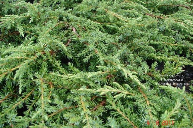 Можжевельник обыкновенный Грин Карпет (Juniperus communis Green Carpet) ФОТО Питомник растений Природа (8)