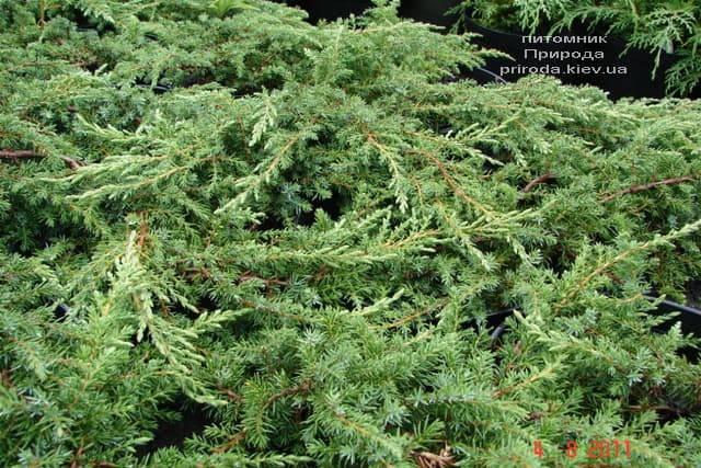 Можжевельник обыкновенный Грин Карпет (Juniperus communis Green Carpet) ФОТО Питомник растений Природа (9)