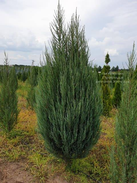 Можжевельник скальный Блю Арроу (Блю Эрроу) (Juniperus scopolorum Blue Arrow) ФОТО Питомник растений Природа (23)
