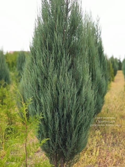 Ялівець скельний Блю Арроу (Блю Ерроу) (Juniperus scopolorum Blue Arrow) ФОТО Розплідник рослин Природа (24)