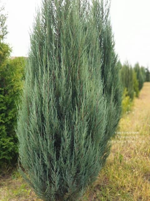 Можжевельник скальный Блю Арроу (Блю Эрроу) (Juniperus scopolorum Blue Arrow) ФОТО Питомник растений Природа (25)