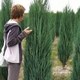 Ялівець скельний Блю Арроу (Блю Ерроу) (Juniperus scopolorum Blue Arrow) ФОТО Розплідник рослин Природа (26)