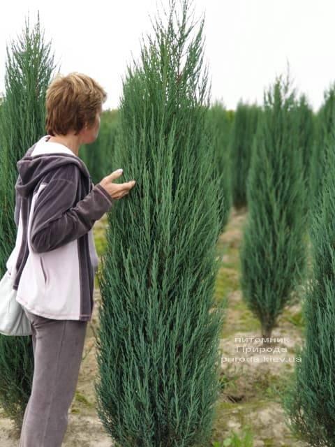 Можжевельник скальный Блю Арроу (Блю Эрроу) (Juniperus scopolorum Blue Arrow) ФОТО Питомник растений Природа (26)