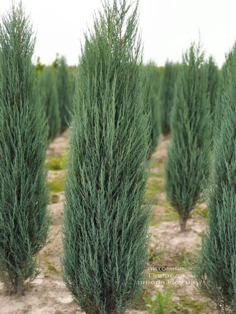 Можжевельник скальный Блю Арроу (Блю Эрроу) (Juniperus scopolorum Blue Arrow) ФОТО Питомник растений Природа (27)