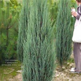 Ялівець скельний Блю Арроу (Блю Ерроу) (Juniperus scopolorum Blue Arrow) ФОТО Розплідник рослин Природа (28)