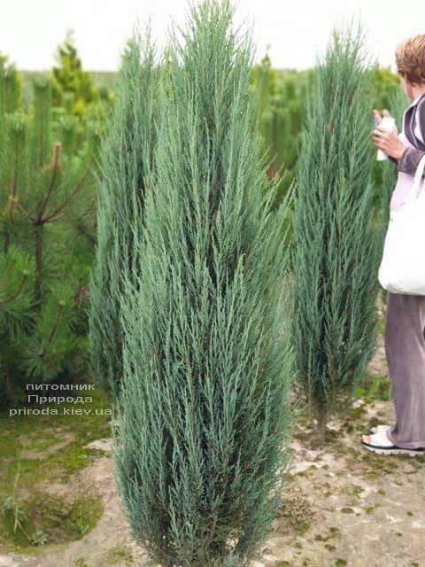 Можжевельник скальный Блю Арроу (Блю Эрроу) (Juniperus scopolorum Blue Arrow) ФОТО Питомник растений Природа (28)