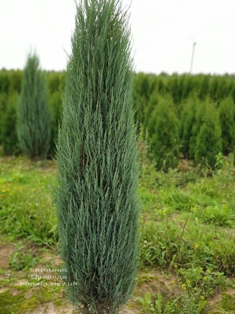 Можжевельник скальный Блю Арроу (Блю Эрроу) (Juniperus scopolorum Blue Arrow) ФОТО Питомник растений Природа (29)