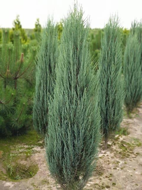 Можжевельник скальный Блю Арроу (Блю Эрроу) (Juniperus scopolorum Blue Arrow) ФОТО Питомник растений Природа (30)
