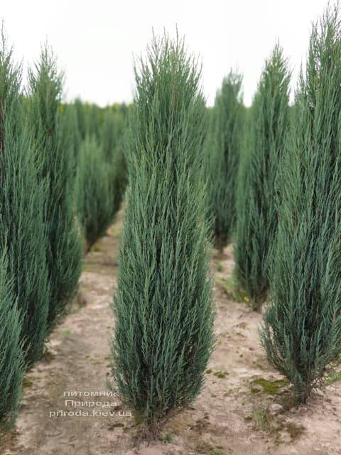 Можжевельник скальный Блю Арроу (Блю Эрроу) (Juniperus scopolorum Blue Arrow) ФОТО Питомник растений Природа (31)