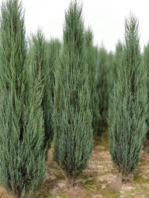Можжевельник скальный Блю Арроу (Блю Эрроу) (Juniperus scopolorum Blue Arrow) ФОТО Питомник растений Природа (32)