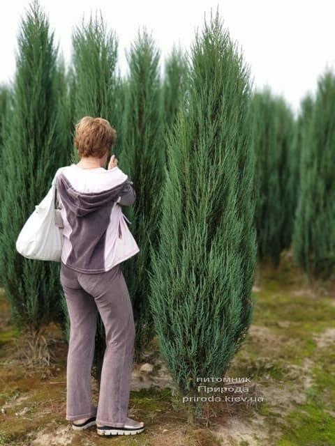 Можжевельник скальный Блю Арроу (Блю Эрроу) (Juniperus scopolorum Blue Arrow) ФОТО Питомник растений Природа (33)
