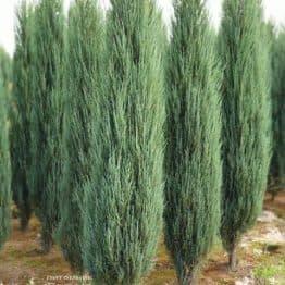 Ялівець скельний Блю Арроу (Блю Ерроу) (Juniperus scopolorum Blue Arrow) ФОТО Розплідник рослин Природа (34)