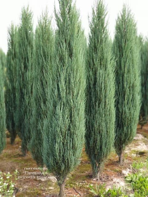 Можжевельник скальный Блю Арроу (Блю Эрроу) (Juniperus scopolorum Blue Arrow) ФОТО Питомник растений Природа (34)