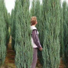 Ялівець скельний Блю Арроу (Блю Ерроу) (Juniperus scopolorum Blue Arrow) ФОТО Розплідник рослин Природа (35)