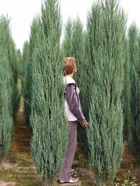 Можжевельник скальный Блю Арроу (Блю Эрроу) (Juniperus scopolorum Blue Arrow) ФОТО Питомник растений Природа (35)