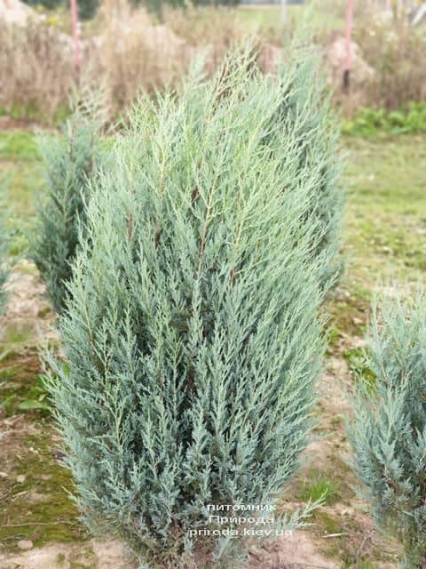 Ялівець скельний Мунглов (Juniperus scopolorum Moonglow) ФОТО Розплідник рослин Природа (13)