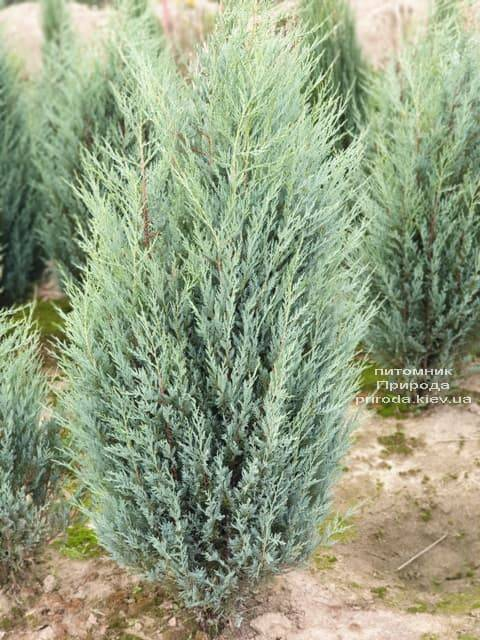 Ялівець скельний Мунглов (Juniperus scopolorum Moonglow) ФОТО Розплідник рослин Природа (14)