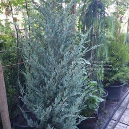 Можжевельник скальный Мунглов (Juniperus scopolorum Moonglow) ФОТО Питомник растений Природа (15)
