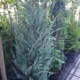 Ялівець скельний Мунглов (Juniperus scopolorum Moonglow) ФОТО Розплідник рослин Природа (15)