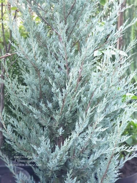 Можжевельник скальный Мунглов (Juniperus scopolorum Moonglow) ФОТО Питомник растений Природа (16)
