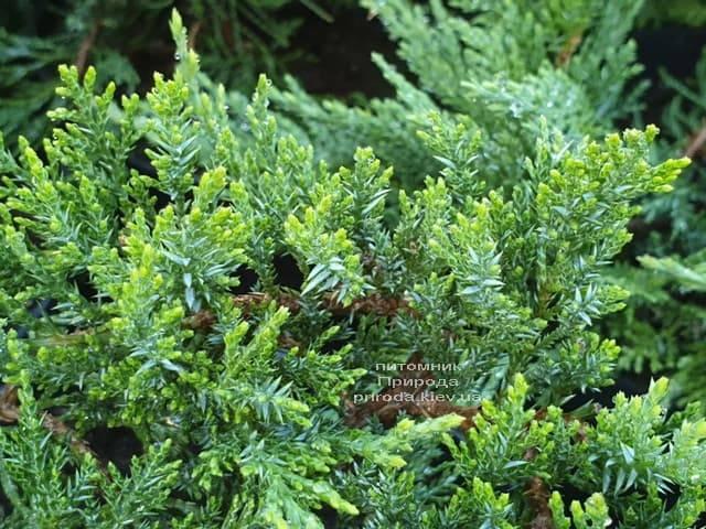 Можжевельник казацкий Рокери Джем (Juniperus sabina Rockery Gem) ФОТО Питомник растений Природа (1)