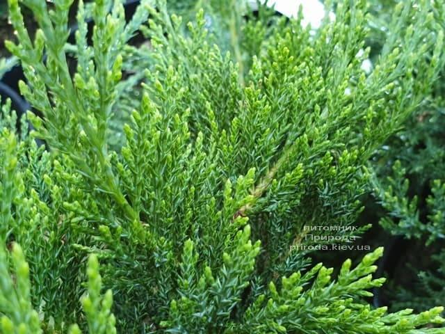Можжевельник казацкий Рокери Джем (Juniperus sabina Rockery Gem) ФОТО Питомник растений Природа