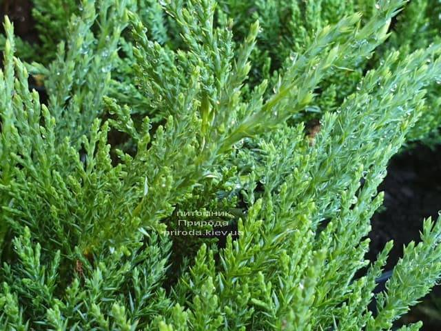 Можжевельник казацкий Рокери Джем (Juniperus sabina Rockery Gem) ФОТО Питомник растений Природа (5)