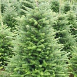 Пихта корейская (Abies koreana) ФОТО Питомник растений Природа (15)