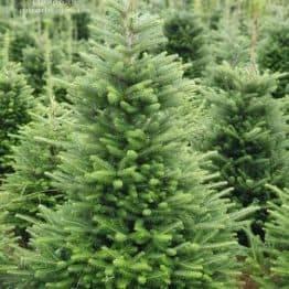 Пихта корейская (Abies koreana) ФОТО Питомник растений Природа (16)
