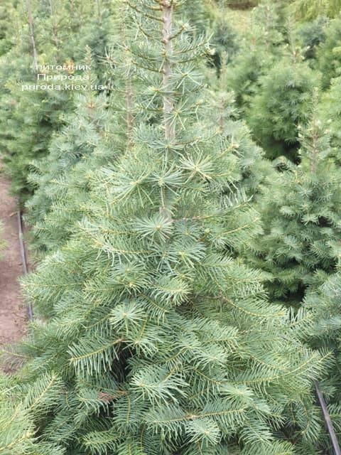 Пихта одноцветная (Abies Concolor) ФОТО Питомник растений Природа (10)