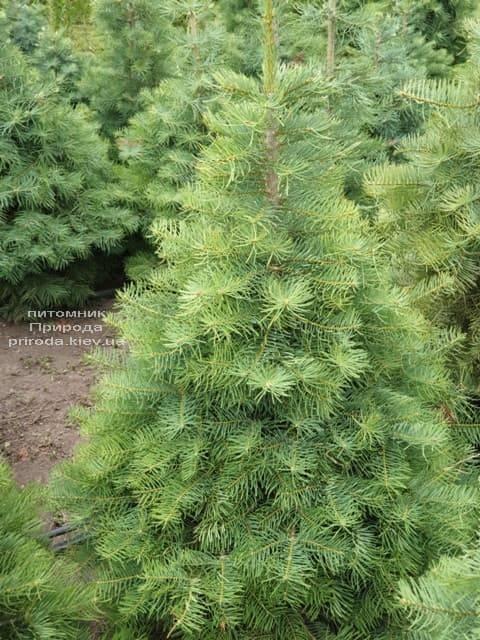 Пихта одноцветная (Abies Concolor) ФОТО Питомник растений Природа (11)