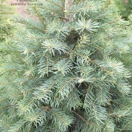Ялиця одноколірна (Abies Concolor) ФОТО Розплідник рослин Природа (12)