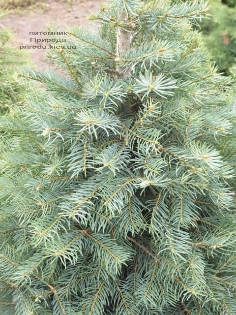 Пихта одноцветная (Abies Concolor) ФОТО Питомник растений Природа (12)