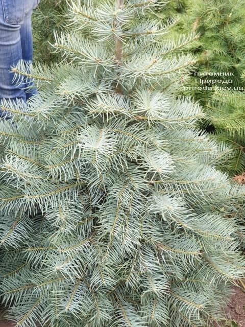 Пихта одноцветная (Abies Concolor) ФОТО Питомник растений Природа (13)