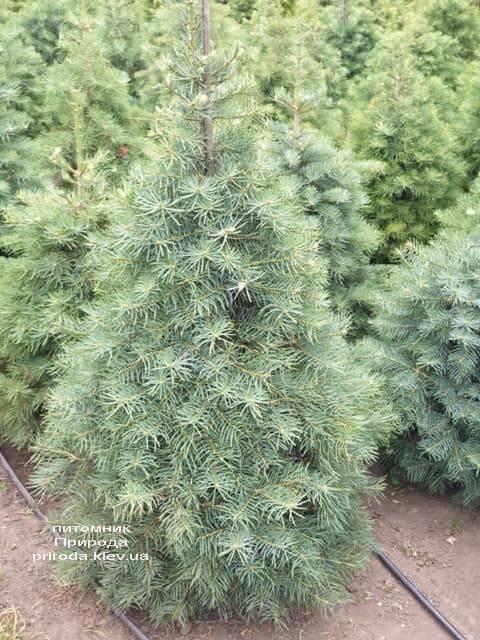 Пихта одноцветная (Abies Concolor) ФОТО Питомник растений Природа (14)