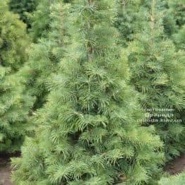 Пихта одноцветная (Abies Concolor) ФОТО Питомник растений Природа (15)