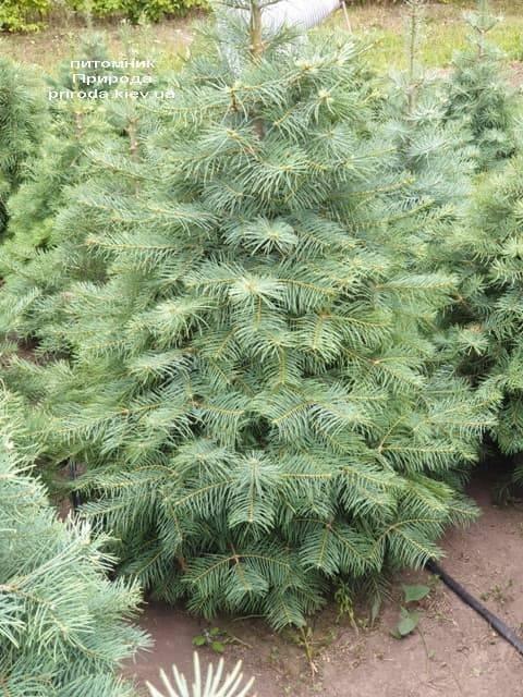 Пихта одноцветная (Abies Concolor) ФОТО Питомник растений Природа (16)